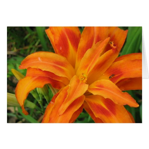 Orange Day Lily - Blank Card