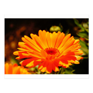 Orange Flower Postcard
