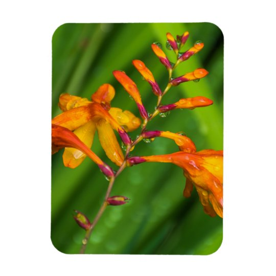 Orange flowers after the rain fridge magnet