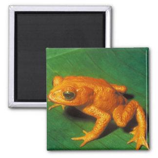 Orange Frog Square Magnet