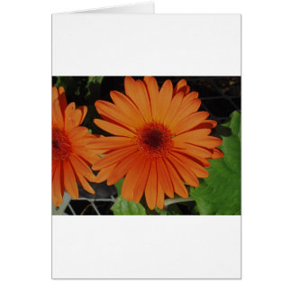 Orange Gerber gerbera Daisy daisie Card