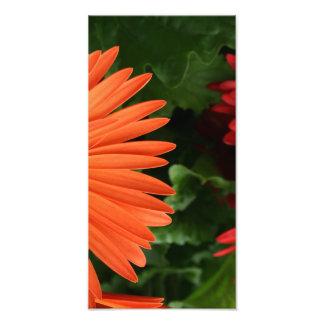 orange gerbera daisy (3 of 3) art photo