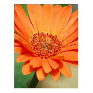 Orange Gerbera Daisy Postcard
