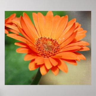 Orange Gerbera Daisy Posters