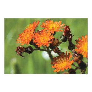 Orange Hawkweed Wild Things Art Photo