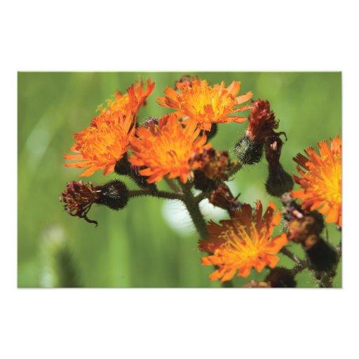 Orange Hawkweed Wild Things Photo Art