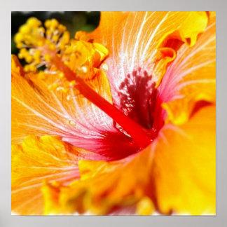 Orange Hibiscus Poster