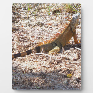 Orange Iguana hunts Plaque