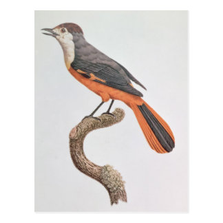 Orange Jay Postcard