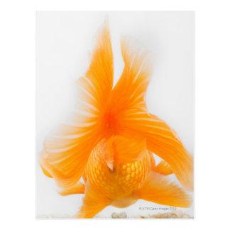 Orange lionhead goldfish (Carassius auratus) 2 Postcard