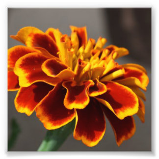 Orange Marigold Photographic Print