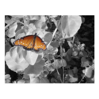 Orange Monarch Butterfly Against Black and White Postcard