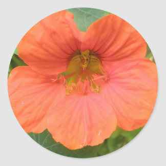 Orange Nasturtium Flower Stickers