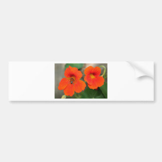 Orange Nasturtium flowers in bloom Bumper Sticker