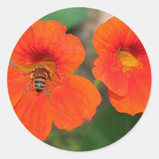 Orange Nasturtium flowers in bloom Round Stickers