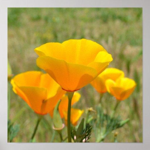 Orange Poppies Field Poster