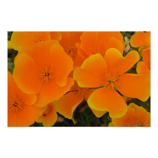Orange Poppies in Spring Poster