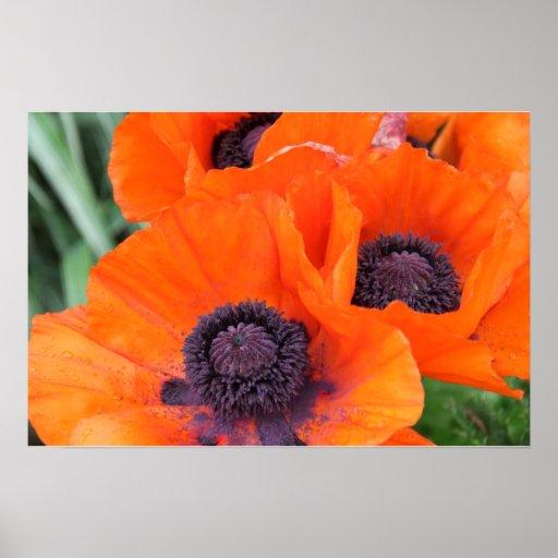 Orange Poppies on Canvas Print