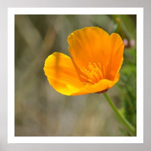 Orange Poppy Floral Poster