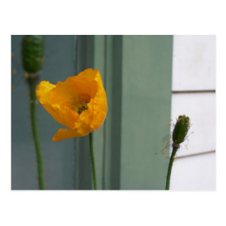 Orange Poppy Flower Postcard