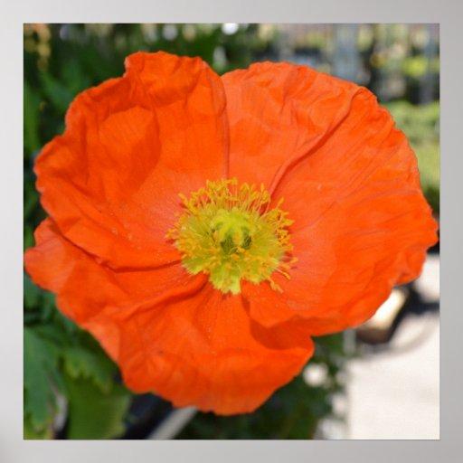 Orange Poppy Spring Flower Poster