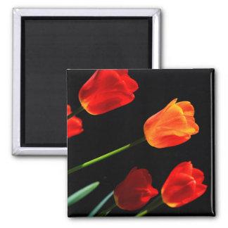 Orange Red Tulip Flowers Black Background Magnet