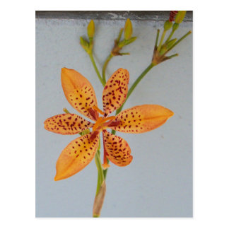Orange spotted Iris called a  Blackberry lily Postcard