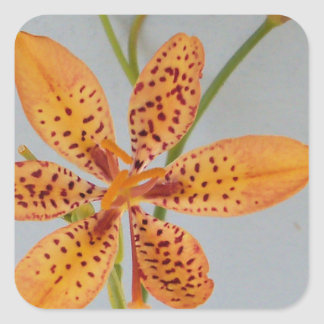 Orange spotted Iris called a  Blackberry lily Square Sticker