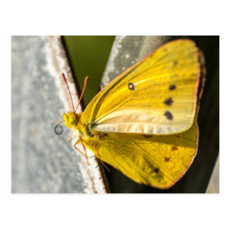 Orange Sulphur Butterfly Postcard