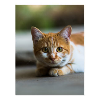 orange tabby cat portrait postcard