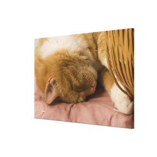 Orange tabby sleeping stretched canvas prints