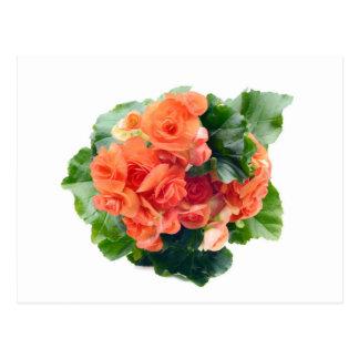 Orange talk Begonia Elatior of flower on white Postcard