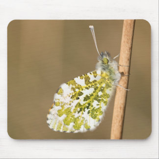 Orange-tip Butterfly Mouse Pad