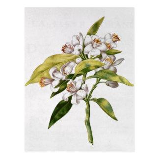 Orange tree flower, from 'La Guirlande de Julie' Postcard