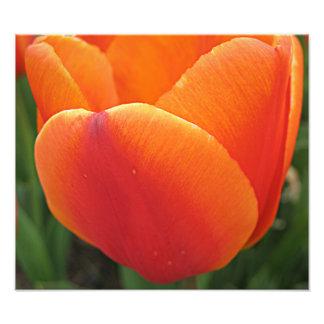 Orange Tulip Art Photo