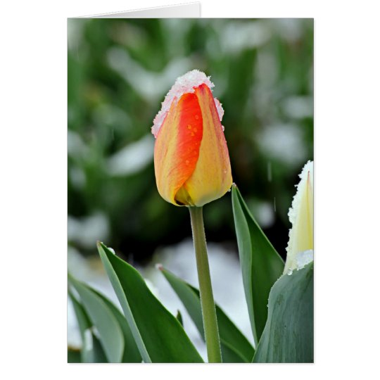 Orange Tulip with Snow Card