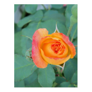 orange yellow rose flower postcard