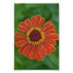 Orange Zinna flower blossom floral photography Art Photo