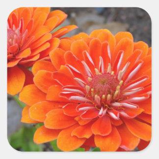 Orange Zinnia flowers Square Sticker