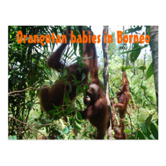 Orangutan babies in Borneo Postcard