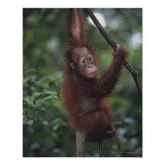 Orangutan Baby Climbing Liana Poster