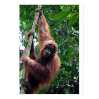 Orangutan in Sumatra rainforest Postcard