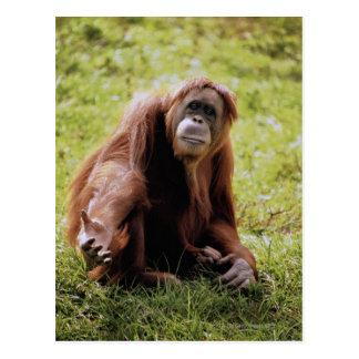 Orangutan sitting on grass and looking at camera postcard