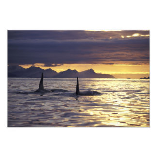 Orca or Killer whales Photo