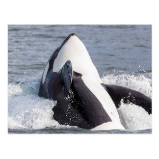 Orca whale breaching postcard