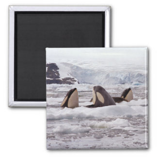 Orcas Spyhopping Magnet