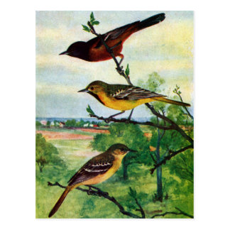 Orchard Orioles Vintage Painting Postcard