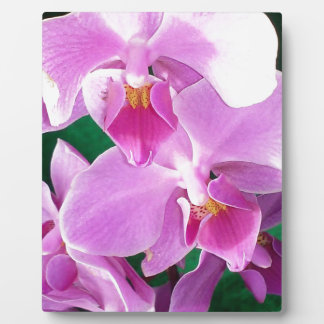 Orchid blooms closeup in pink plaque