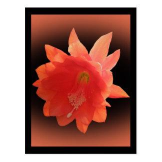 Orchid Cactus - Epiphyllum Ackermannii - Blossom Postcard
