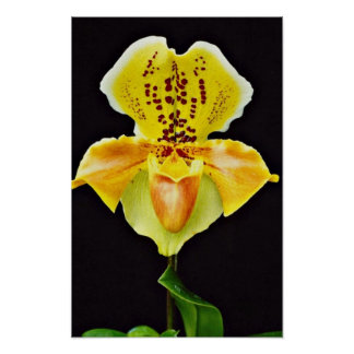 "Orchid Paphiopedlum, ""Golden Crown""  flowers Poster"
